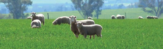 Condition score targets for all sheep classes